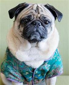 Lola the Bereavement Pug