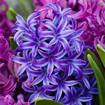 Hyacinth  D. Williams