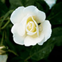 Rose Casmano