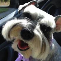 Lucy the Mini Schnauzer Hughes