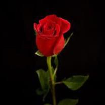 Rose Bonagura