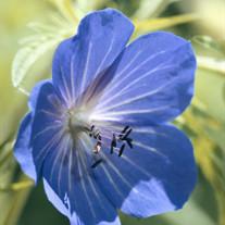 Florence Heines Bloom